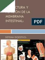 Estructura y Función de La Membrana Intestinal