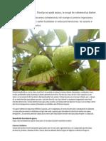 Guava - Fructul Care Te Scapa de Colesterol Si Diabet