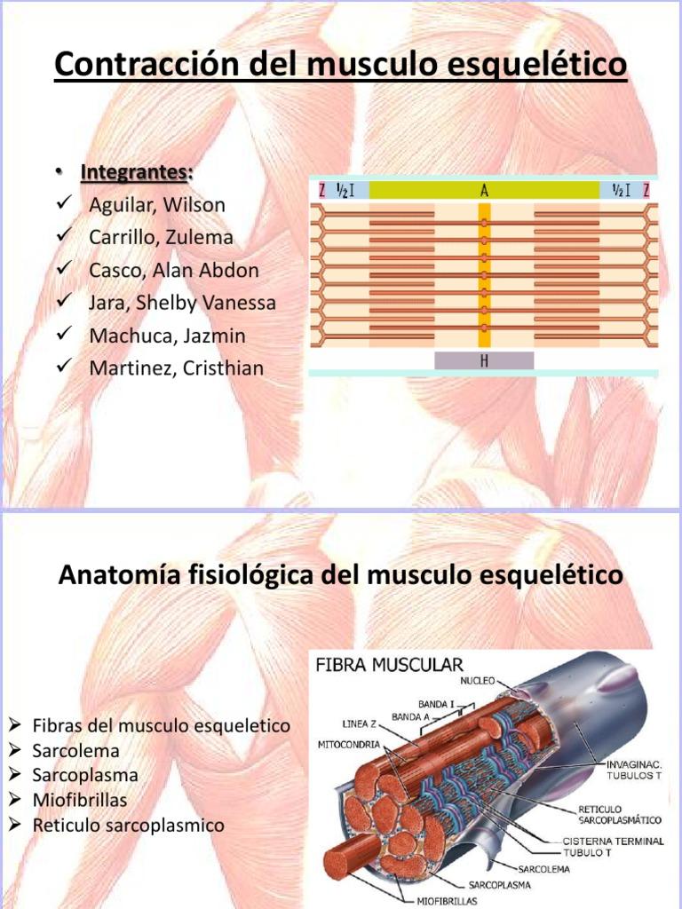 Contraccion Del Musculo Esqueletico