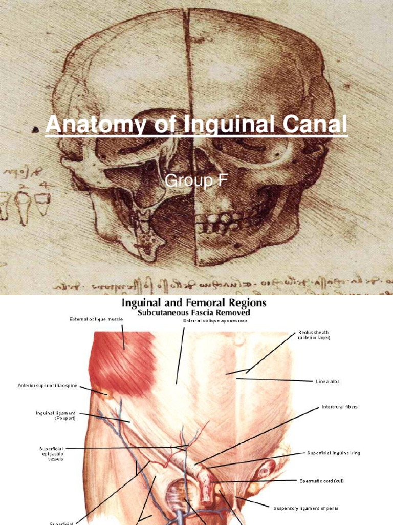 Anatomy of Inguinal Canal | Human Anatomy | Primate Anatomy