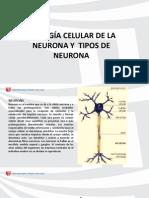 Biología Celular de La Neurona y Tipos de Neurona (1)