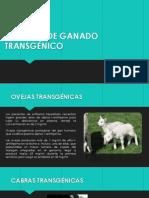 EJEMPLOS DE GANADO TRANSGÉNICO.pptx