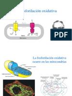 fosforilacin_oxidativa.ppsx