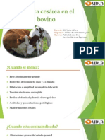 Cesarea en el bovino.pptx