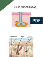 GLANDULAS_SUDORIPARAS[1].pptx