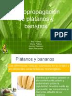 Micropropagacion de Platanos y Bananos