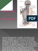 Nervios espinales o raquídeos.pptx