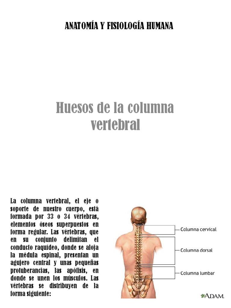 Bonito Anatomía Eje Vértebras Embellecimiento - Imágenes de Anatomía ...