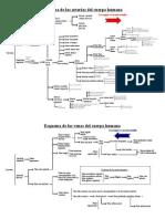 Esquema de las arterias y venas del cuerpo humano..pdf