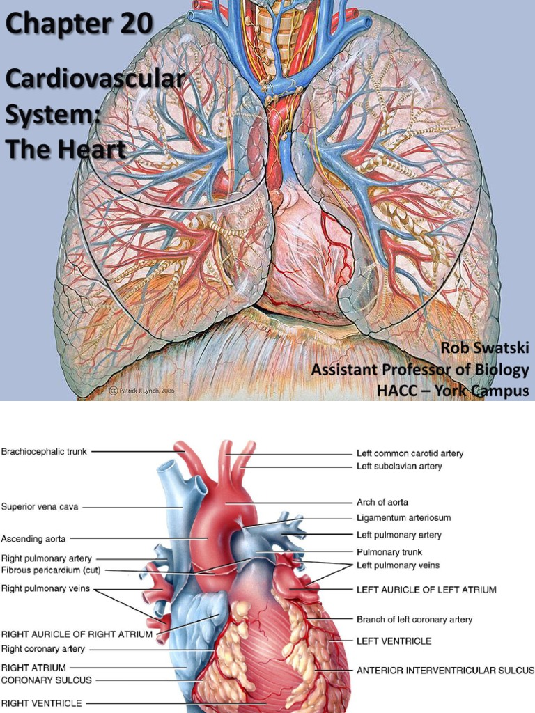 heart anatomy and physiology.pdf   Heart Valve   Ventricle (Heart)