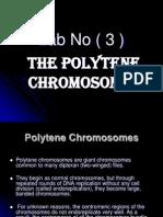 lab3 polytene chromosome.ppt
