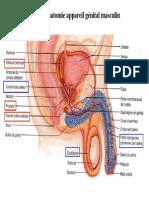 Genital_male.pdf