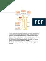 Sistema Urinario_Nefrona_Síntesis.docx