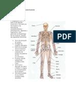 anatomia y fisiologia del aparato locomotor.docx