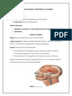 musculos elevadores y depresores.docx