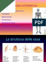Apparato scheletrico 2
