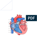 heart anatomy study