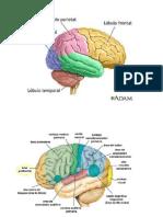 hemisferios.docx