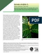 Morinda Species Profile