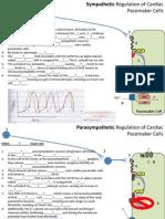 FIB Quizlet - Autonomic Cardiac Regulation