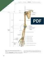 le ossa dell'arto superiore