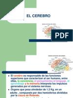 EL CEREBRO.pdf