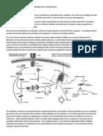 MECANISMOS MOLECULARES RESPONSABLES DE LA HIPOACUSIA.pdf
