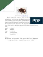 Lasiodactylus pictus