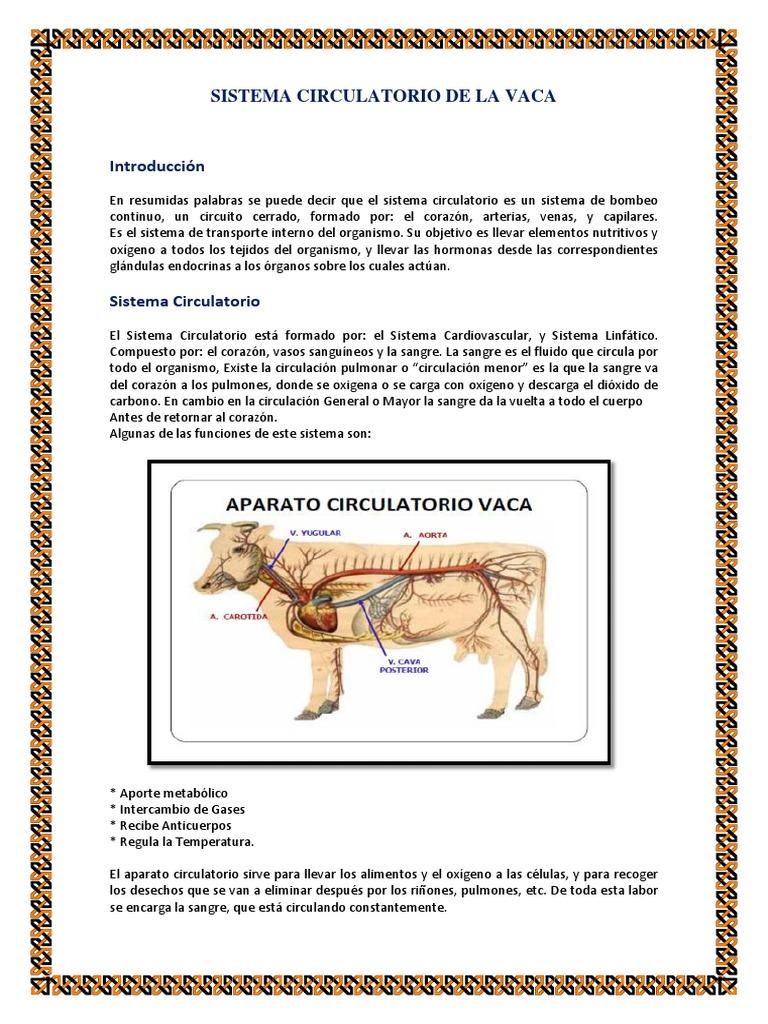 sistema circulatorio de la vaca.docx