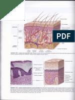 struktur kulit manusia junqueira teks dan atlas