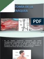 Anatomia de Traquea