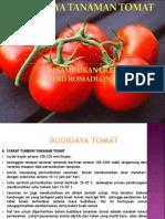 Budidaya tanaman tomat