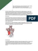 huesos y musculos del cuerpo
