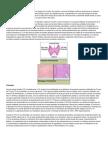 Anatomía tiroides