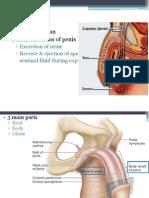 External genitalia and Testicular Tumors