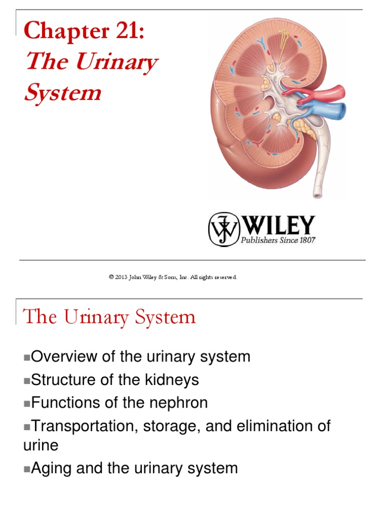 Anatomy And Physiology Urinary System Kidney