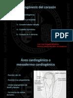 Organogénesis del corazón