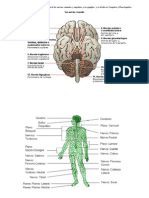 El Sistema Nervioso Periférico o SNP