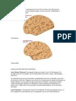 Areas Cerebrales de Brodmann