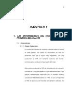 Las enfermedades del camarón en la provincia de Guayas