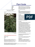 Achillea Millefolium L acmi