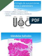 glandulas exocrinas clasificacion