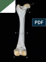 Femur Canino 2