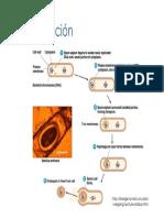 ciclo explicado de la esporulación celular.