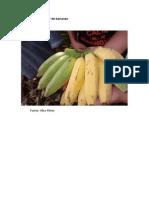 Maturação Irregular de Bananas