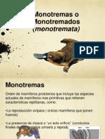Monotremas