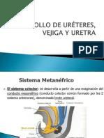 Embrio de Ureteres Vejiga y Uretra