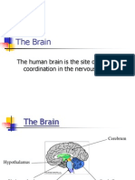 the brain  cerebral hemispheres1
