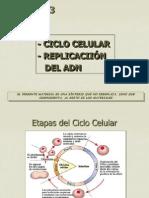Ciclo Celular y Replicacion Del ADN