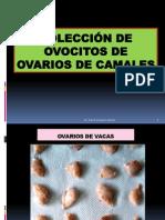 Coleccion de Ovocitos Camal